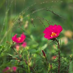 Аленький цветочек )