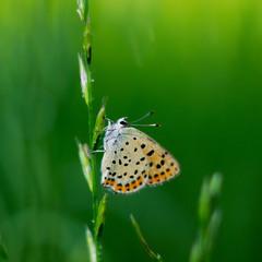 Метелик в хлорофілі )