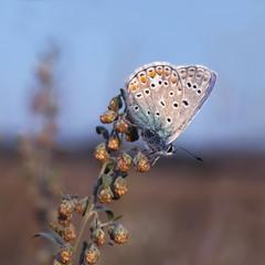 Метелик та полин