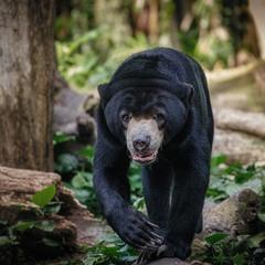 Идущий на меня...Бируанг, или Малайский медведь, или Солнечный медведь,или медведь собака!