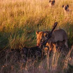 После охоты... саванна.Танзания!