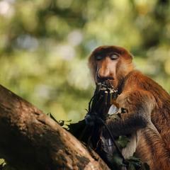 Носач или Кахау...о.Борнео!