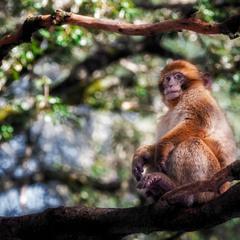 Магот, или берберская обезьяна...Марокко!