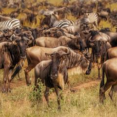 Много-много диких... антилоп.Танзания!