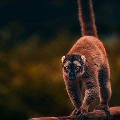 "А ""Я"" вышел на вечерний променад...лемурия, о .Мадагаскар!"