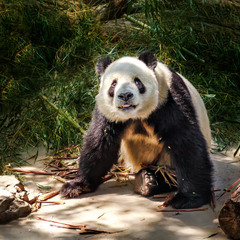 Большая панда...ZOO...Пекин.