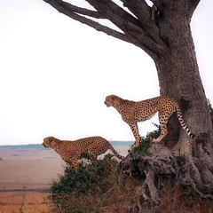 """Братаны""... саванна,Кения!"
