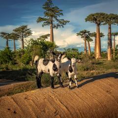 Позирующая молодь и баобабы...Мадагаскар!