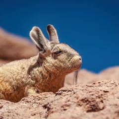 Шиншилла...Путешествуя по Боливии...4600м над уровнем моря.