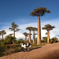 После урагана(поваленный баобаб)... Мадагаскар!