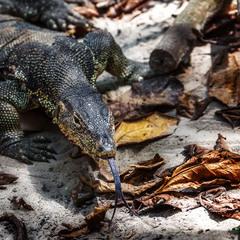 Комодский варан, или Комодский дракон — самая крупная современная ящерица!