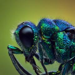 Цветастый мух