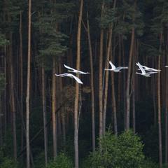 Лебеди летели тёмным лесом