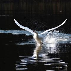 Сказка о царевне-лебеди