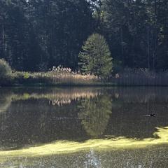 Лето, утро, пруд, лес