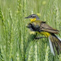 В зелених пшеницях