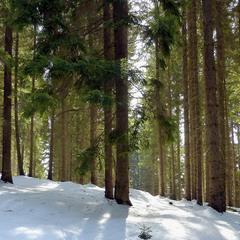 Смерековий ліс