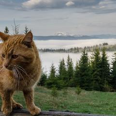 Самый высокогорный кот)