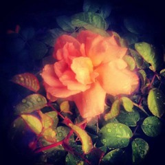 War of the Rose