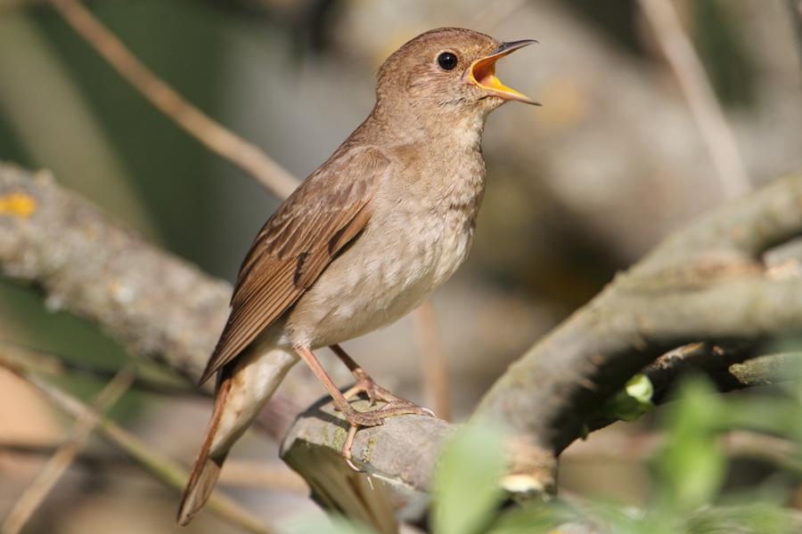 процесс настолько фото соловьев птиц может
