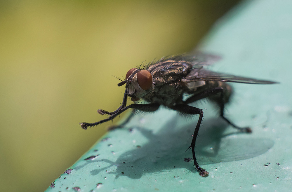 покажи картинки мухи том
