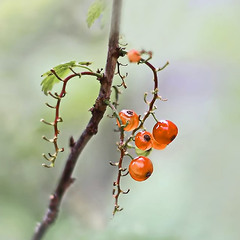 В косичку ягоды вплелись...