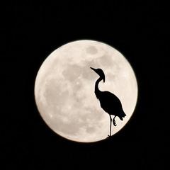 Луна и цапля