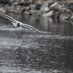 Хроника атакующей чайки