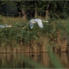 Летите, лебеди, летите...
