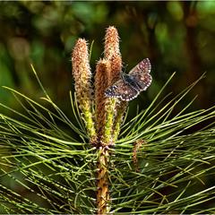 Сосна цветёт
