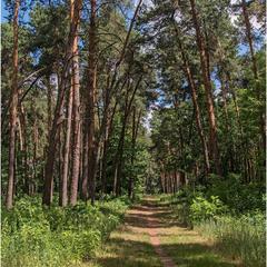 Прогулка в сосновом лесу