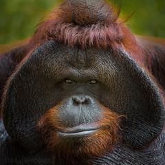 Портрет орангутана