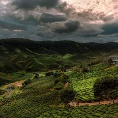 Чайные плантации