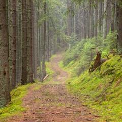 Лісова пісня карпатського лісу