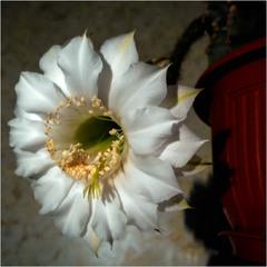Редкий цветок ночи.