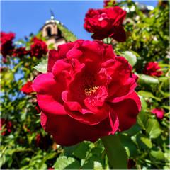 Роза у храма...