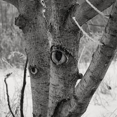 Очі дерев
