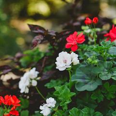 Краса квітне