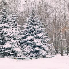 Ялинки в сніжку