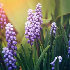 Фіолетові квіточки