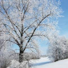 Сріблясте дерево