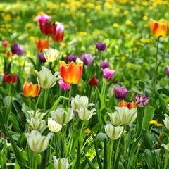 Кольорові тюльпани
