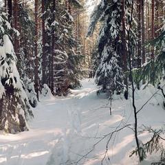 Хвойный лес зимой