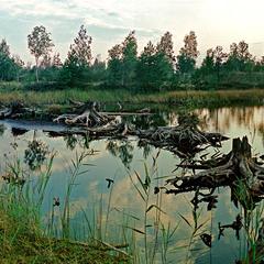 Коряги на болоте