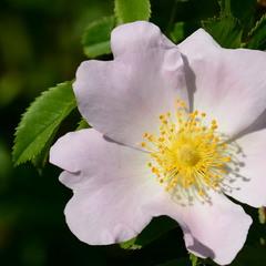Дика троянда