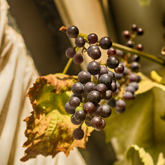 Ноябрьский виноград