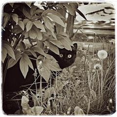 Черный котэ
