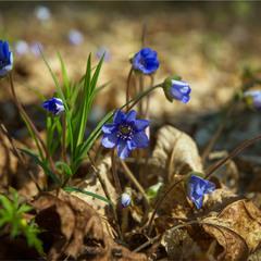 Весняні самоцвіти...