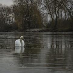 Белый лебедь на пруду...