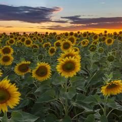 Вечір в сонячних квітах